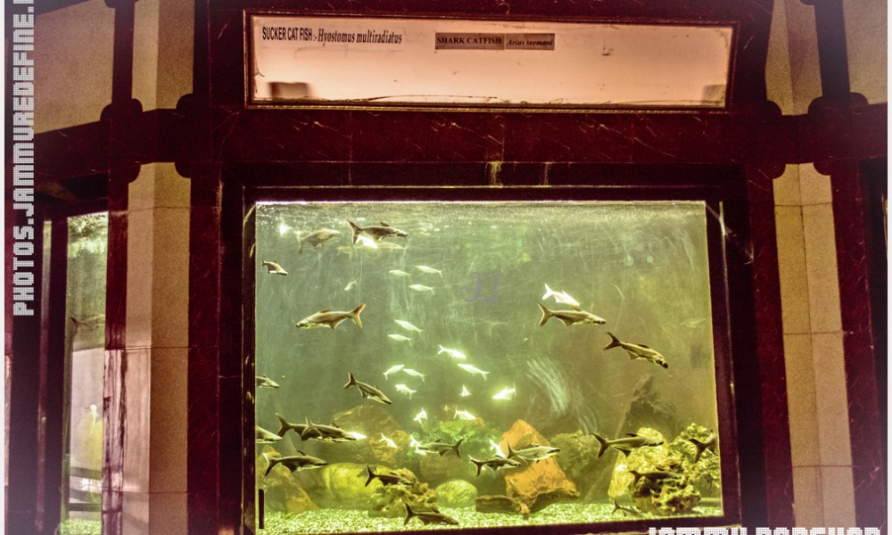 Sucker Catfish and Shark Catfish in Bagh-e-Bahu Aquarium, Jammu