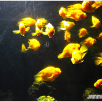 Yellow Parrot Fishes in Bagh-e-Bahu Aquarium, Jammu